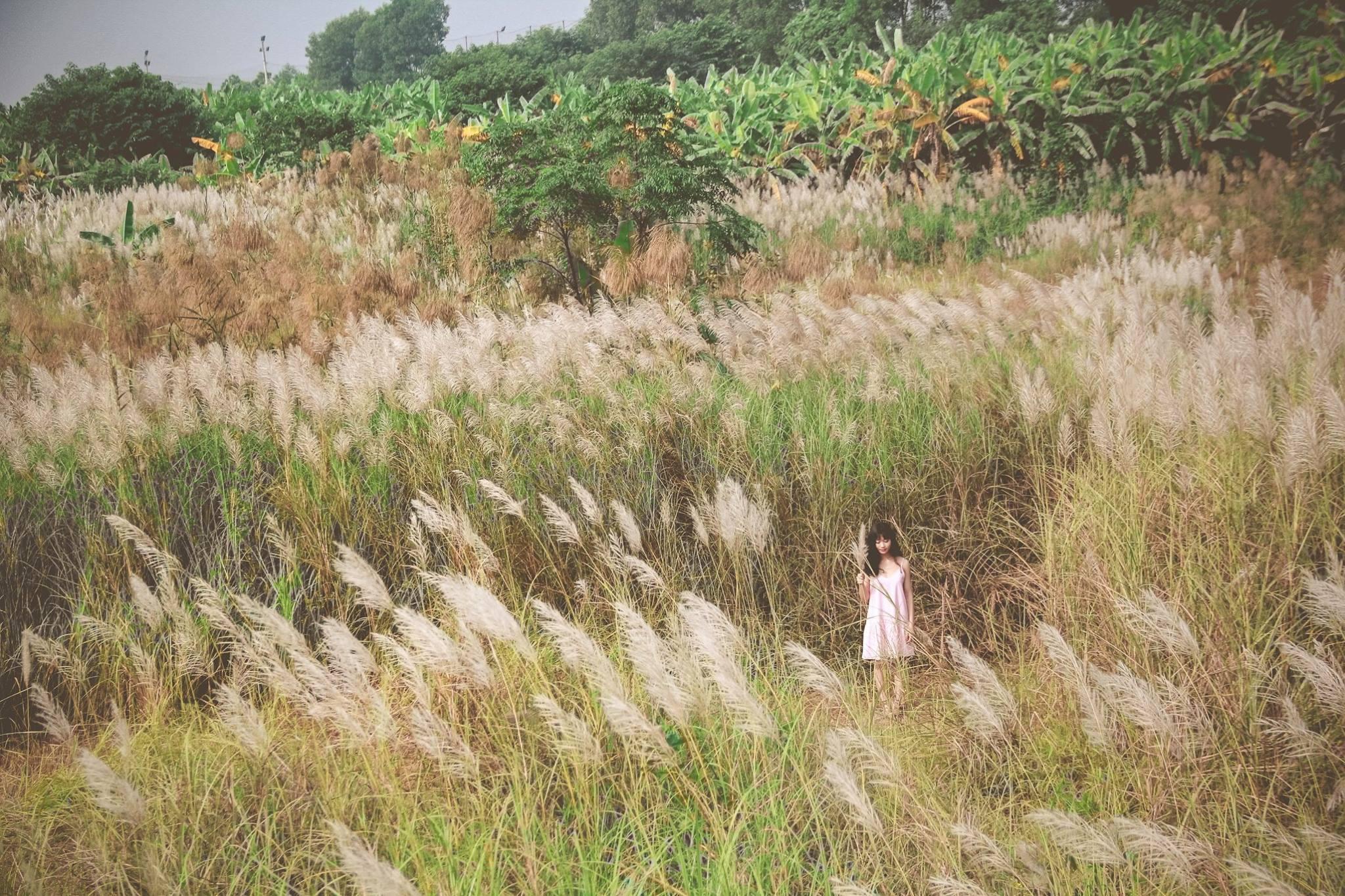 Cần gì đồi cỏ hồng, Hà Nội cũng có thung lũng bông lau mộc mạc và tinh khôi thế này đây