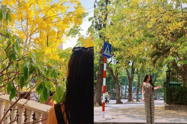 Nao lòng mùa muồng hoàng yến vàng rực góc trời Hà Nội đẹp hơn phim Hàn Quốc