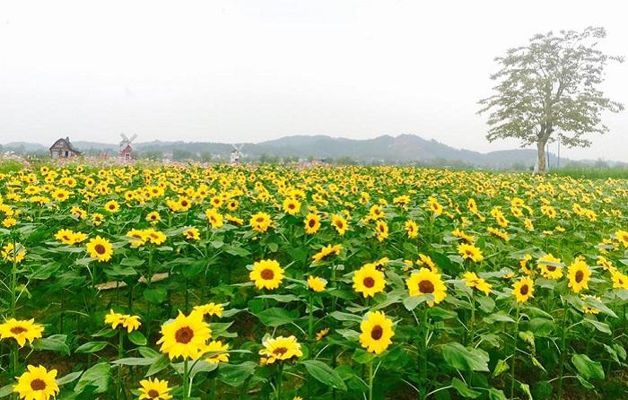"""""""Bấn loạn"""" trước hàng loạt ảnh đồi hoa hướng dương lớn nhất Tây Bắc sắp bung nở đẹp hơn đồng quê nước Mỹ"""