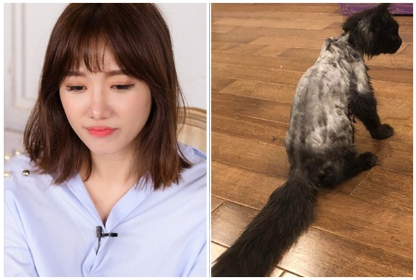 Hari Won cạo sạch lông mèo 3.000 USD thảm hại, bị chỉ trích ra tay ác độc, Trấn Thành thất vọng