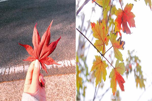 """""""Sững sờ"""" trước Hà Nội rực đỏ mùa chuyển màu lá phong, giới trẻ đua nhau check-in """"trời Tây"""""""