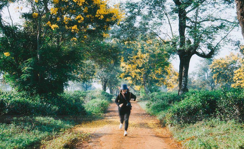 """Ngỡ như đang lạc bước trong mùa thu xứ Hàn ở """"con đường vàng"""" rực góc trời Gia Lai"""