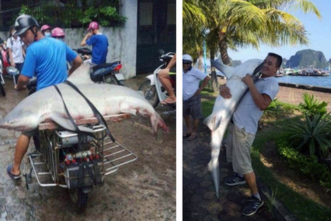 Cá mập xuất hiện trên vịnh Hạ Long hay là cá nhám hoặc cá nheo?