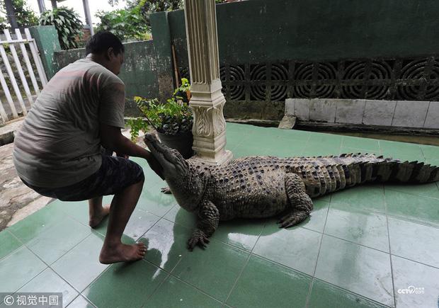 Kinh dị con cá sấu dài 1m8 thích được người xoa cằm và đánh răng mỗi ngày